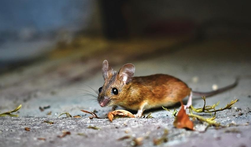 Chuột - nhà thám hiểm đáng sợ